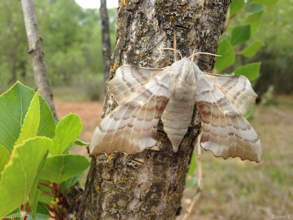 laothoe populi, sphynx du peuplier