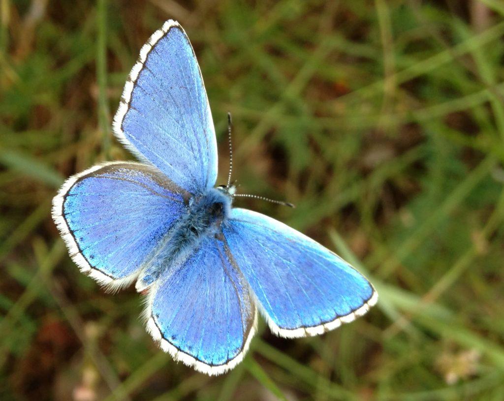 Polyommatus Bauduen 83